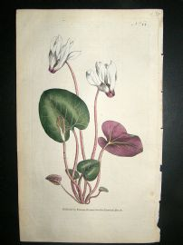 Botanical Print 1787 Persian Cyclamen #44, Curtis hand col'